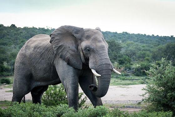 Bull elephant on the Olifants by Dan B33
