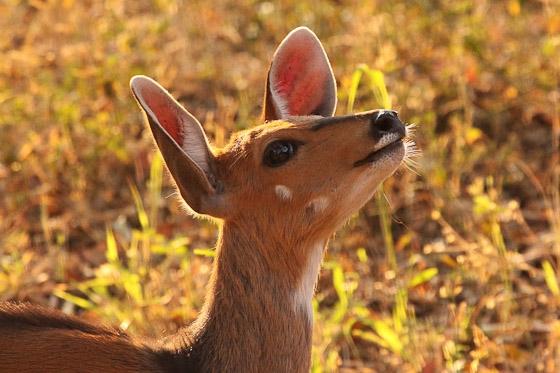 Bushbuck ears Graham B2