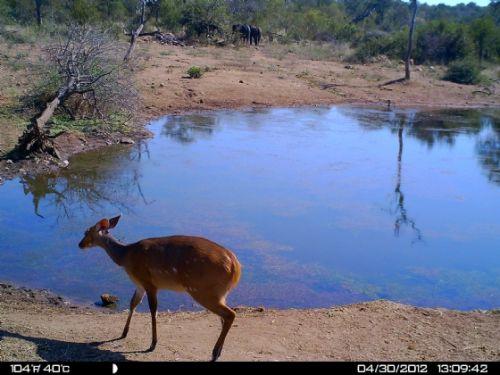 Bushbuck ewe at Wildebeeste