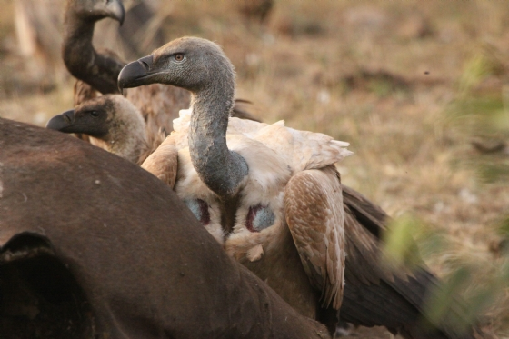 Cape Vulture by Graham B2