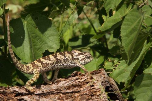 Chameleon by Nic Holzer