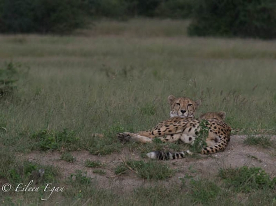 Cheetah and cub by Eileen Egan