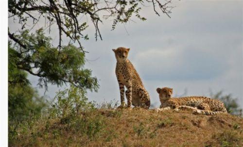 Cheetah by Jock Mckenzie