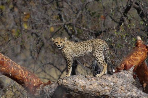 Cheetah cub by Simon Leppard