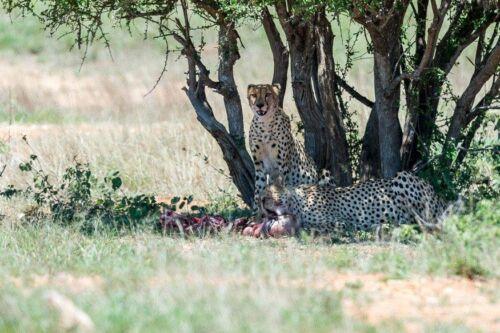 Cheetah kill at Cheetah Plains by Uli A9