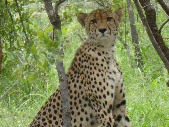 Cheetah on Old Mine Boundary Road by Ruth B37