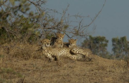 Cheetah with 4 cubs ORGR by James Markham