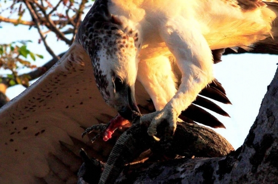Close up - Martial eagle and dinner by Danny A8