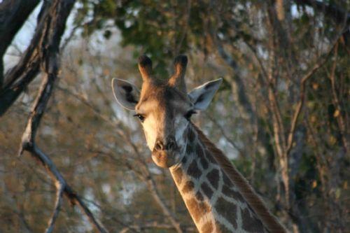 Close up of Giraffe by Richard