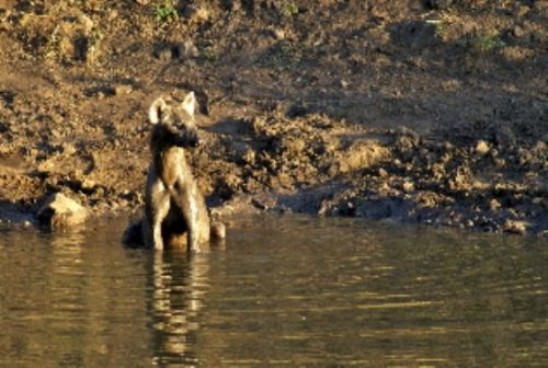 Cooling off in Wildebeeste dam by Roy Markham