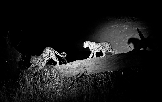 Courting Leopards Hide Dam by Dan B33