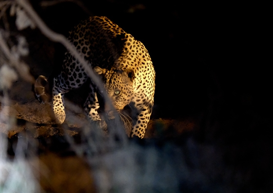 Courting Leopards at Hide Dam by Dan B33