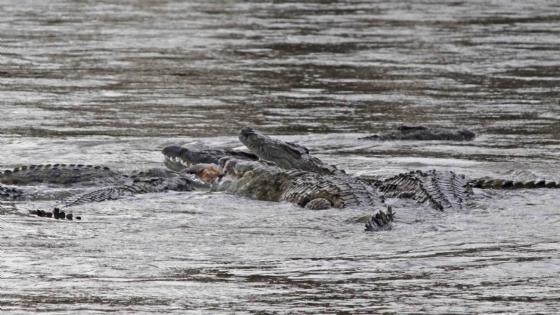 Croc eating Kudu 2 by Nic Holzer
