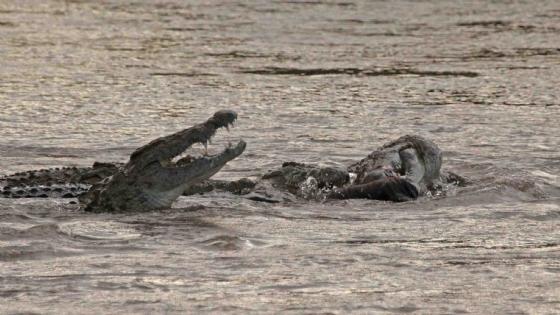 Croc eating Kudu 3 by Nic Holzer