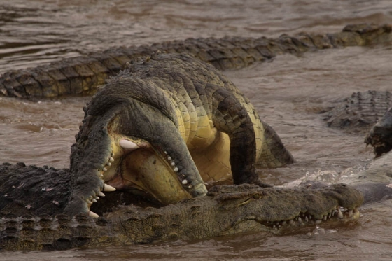 Croc fury by Graham Benfield