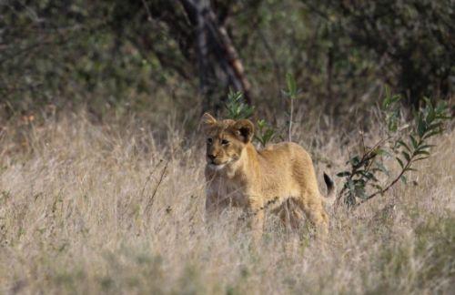 Cub near Nkonkoni dam by Simon Leppard