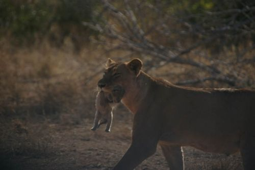 Cub number 1 by James Markham