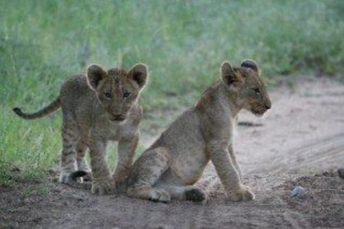Cubs by Kenny Jones on Porcupine Ridge