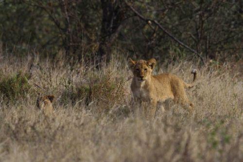 Cubs near Nkonkoni by Simon Leppard