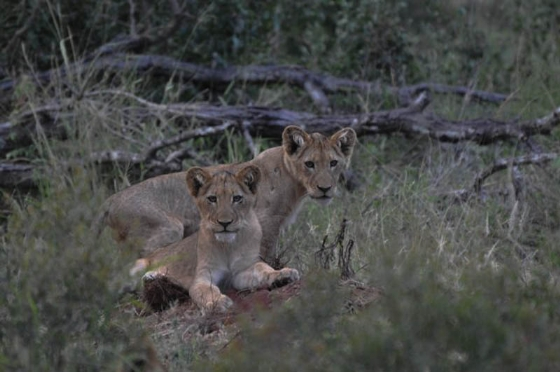 Cubs on Hyena road by Francois Barnard