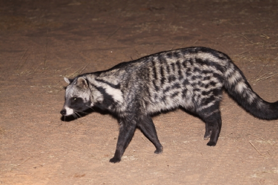 Curious Civet 2 by Graham Benfield
