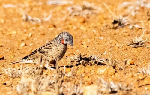 Cut Throat Finch by John B35
