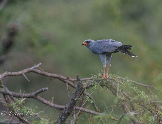Dark Chanting Goshawk and snake by Eileen Egan