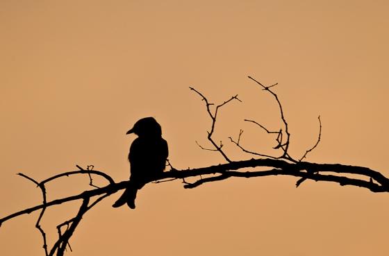 Drongo Sunset by Dan B33