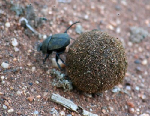 Dung Beetle by Analia and Richard