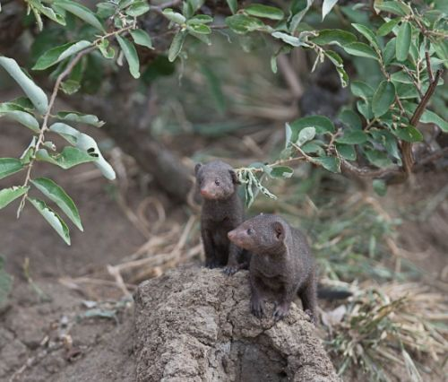 Dwarf mongoose by Eileen Fletcher