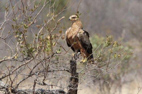 Eagle by Tamara A8