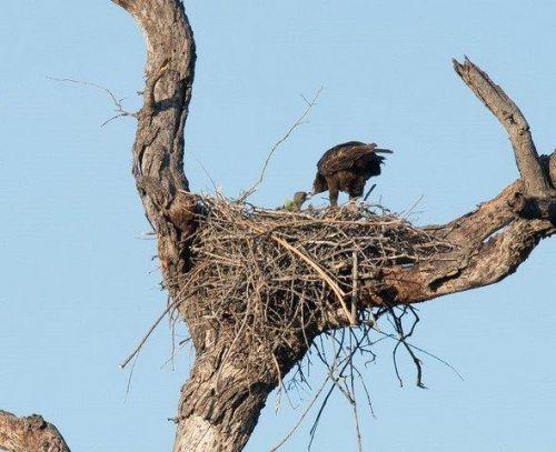 Eagle has a baby at B4 by John B35