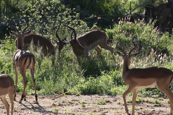 Early morning light on impala by Kenny Jones