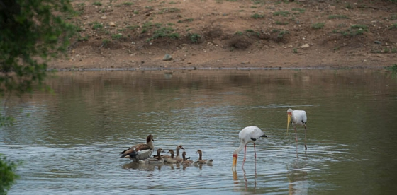 Egyptian geese family and Yellowbilled storks by Eileen Fletcher