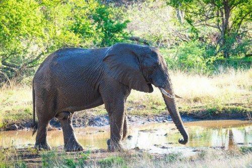 Elephant Bull on Elephant Walk South by Dan B33
