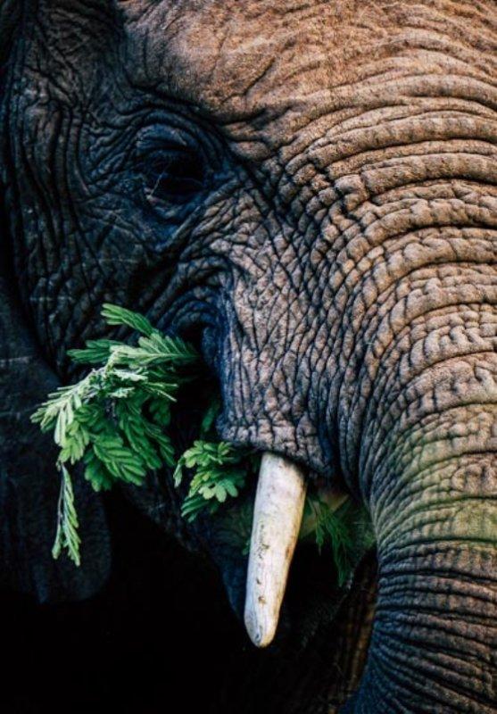 Elephant Portrait by Dan Odendaal B33