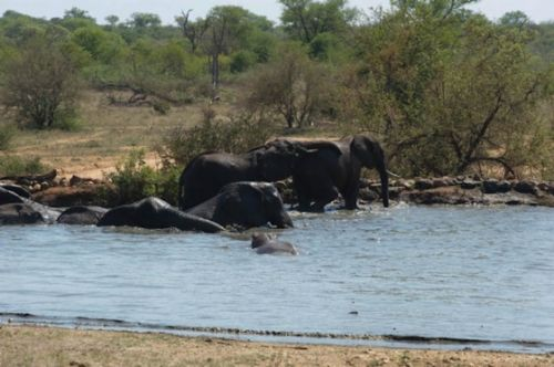 Elephant and hippo pool party by Eileen Fletcher