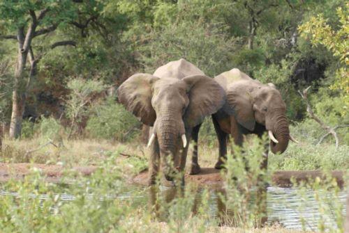 Elephant at Kudu Pan by Roy Markham