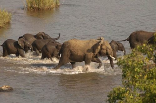 Elephant herd crossing Olifants River by Manuel Lopes