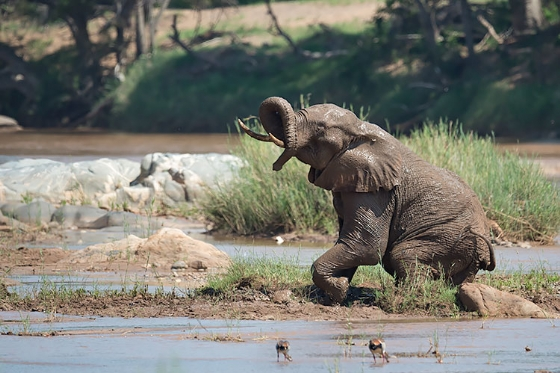 Elephant in the Olifants River - Johann Grobbelaar B38