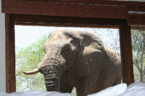 Elephant right at bedroom window at unit 21 by James Markham
