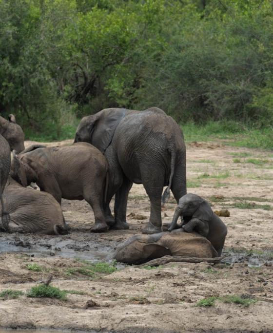 Elephants by Eileen Fletcher