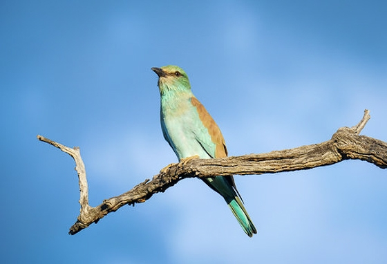 European roller by Dan O. B33