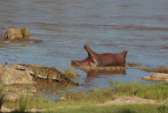 Feasting crocs by Benjamine Bronee
