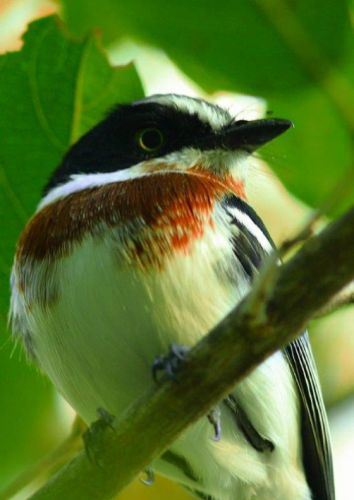 Female Chinspot Batis by Danny Shaw