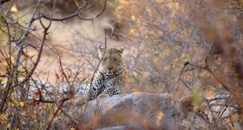 Female Leopard by Nic Holzer