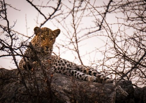 Female Leopard on Sharpes Way Olifants South by Dan B33