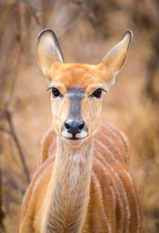 Female Nyala at Causeway by Dan B33