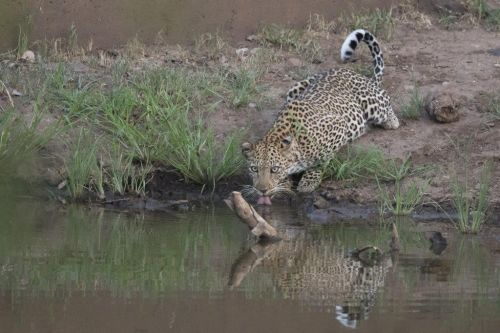 Female leopard (Yemaya) drinking at Ndlovu by Johann B38