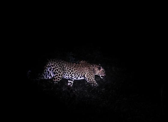 Female leopard at Causeway North by Dan B33